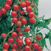 Tomat Gardener's Delight