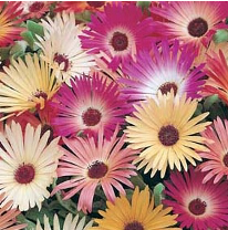 Mesembryanthemum Livingstone Daisy Mixed