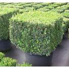 Buxus sempervirens/ Buxbom (Cube, Block)