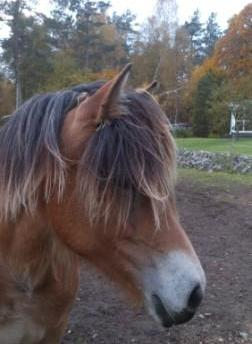 Vill du se Dollys stamtavla? Klicka på bilden!   Underbara bruksegenskaper för en brukshäst! Väldigt nöjd med dagens träningspass. Tack Bettan för hjälpen!
