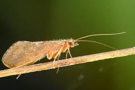 Nattslända - Hydropsyche pellucidula
