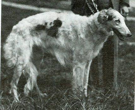 Tjaika Perchino (Korotai x Lillie)