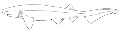 Sexbågig kamtandhaj Hexanchus griseus. Bild: David C. Bernvi,  modifierad efter Compagno, Dando, Fowler 2005.