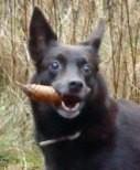 Min gamla Mimmi. En hund som sällan tävlades i skitväder, men som kom till lydnads-SM ändå!