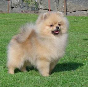 BIS-2 puppy Stephen Minogue,Irland
