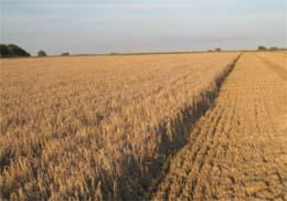 En dominerande del i växtföljden är spannmål det finns därför behov av bra avbrottsgrödor