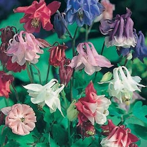 Aquilegia Biedermeier Mixed