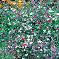 Lobelia (Trailing) Colour Cascade Mixed
