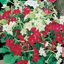 Nicotiana Roulette Mixed F2