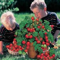 Tomat Minibel