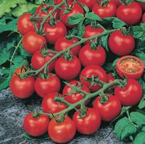 Tomat (Cherry) Red Cherry