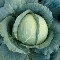 Kål Cabbage Landini F1