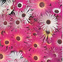 Mesembryanthemum African Dream