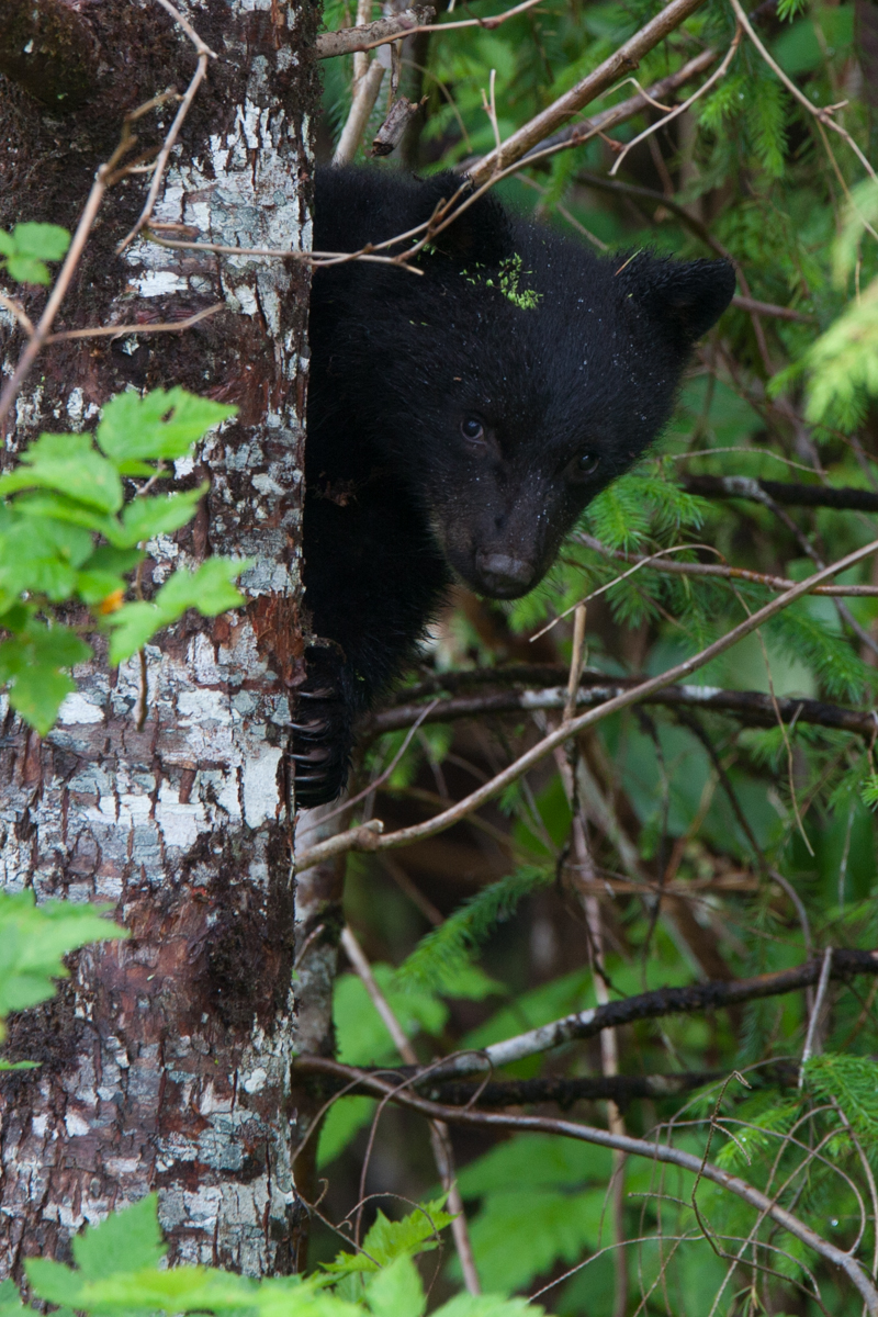 A black bear cub from the remote northern Vancouver island.