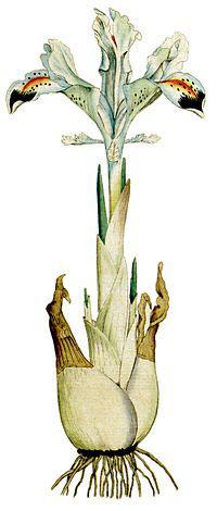 زنبق ایرانی بر جلد مجله گیاهشناسی بریتانیا، جلد اول، ۱۷۹۲ میلادی