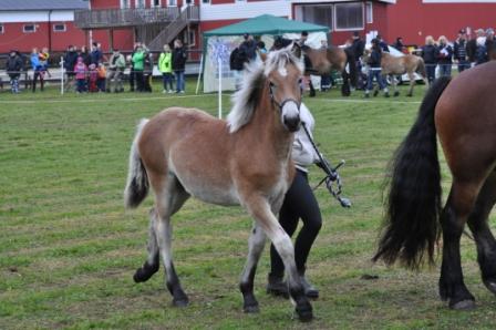 Ja titta så fin jag är! Lovis visas på ett väl framfört sätt av uppfödare och ägare Sandra Karlsson, Väröbacka.