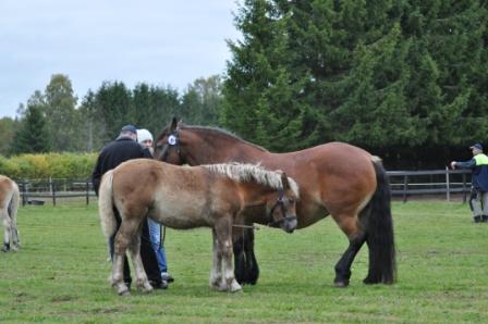 Framåt eftermiddagen blir man lite lojer. Det är så bra träning att vara iväg med sitt föl. Det underlättar för både häst och människa att skola in hästen redan första året. Bara att vara iväg och få träffa så många lekkamrater ger en väldigt bra rutin.
