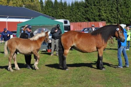 Hur hästen är byggd är det viktigaste för hållbarheten. Det  är egenskaper vi värnar om för den nordsvenska brukshästen.  Vinklellära i all ära, lutningen på bogbladet och vinklar i kors, has behöver vara rätt för hållbarheten.  Det kan Morgans tränade öga  med lätthet se.