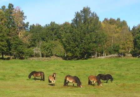 Nordsvenska brukshästar njuter av höstbete i Simlångsdalen