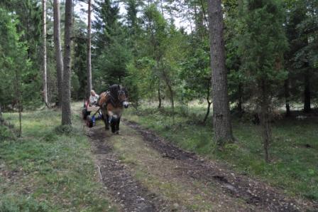 På väg hem igen. Livet är som bäst när man kör en riktigt bra skogshäst! Och det är Liiv.