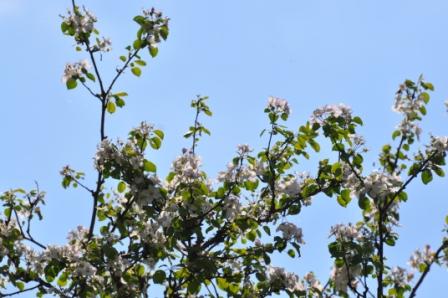 Äppelträden står i full blom på Skallinge Gård Simlångsdalen