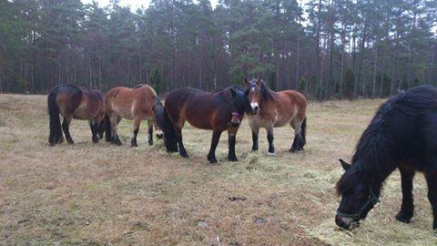Frida, Dolly, Fanny, Liiv och Molly på lunchar på betesvallen.
