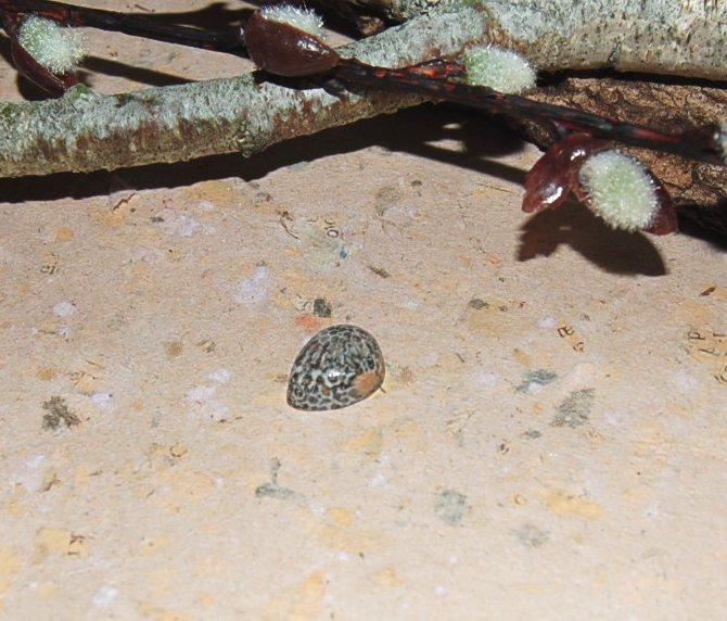 fossilkorall16x12mm