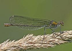 Jungfruslända - Calopteryx splendens