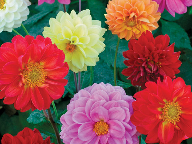 blommor i olika färger