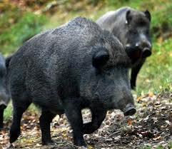 ¤ såna här svin vill man inte reta eller utmana.