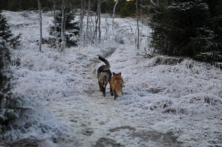 Räven Sniffer och hunden Tinni/ Foto Torgeir Berge
