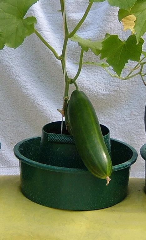 odla gurka direkt i jordsäcken