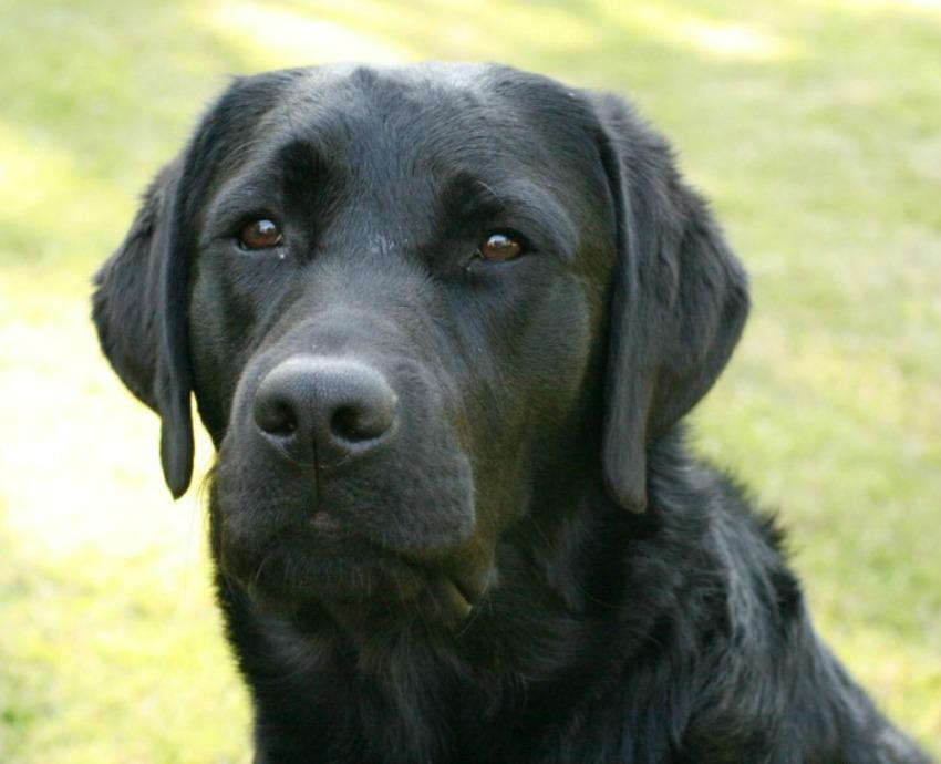 Vacker huvudbild av svart labrador vid namn Dexter.