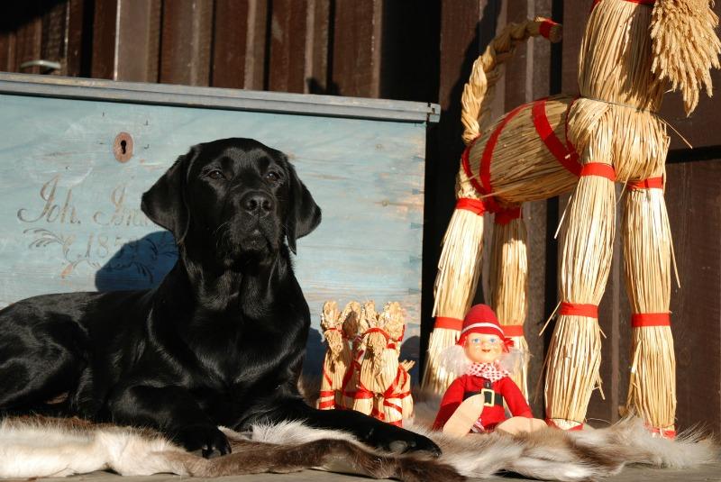 Labradoren Hobbe med vänner önskar er alla en God Jul! Jag önskar er såklart också en härlig julhelg!