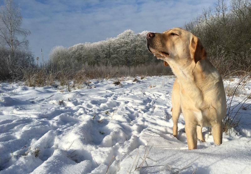 Labradoren Rex njuter av snö och sol!