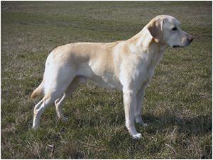 En Labrador i riktigt bra form