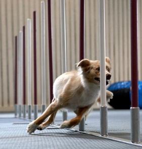 agilitybana träning agility inomhus i halland halmstad