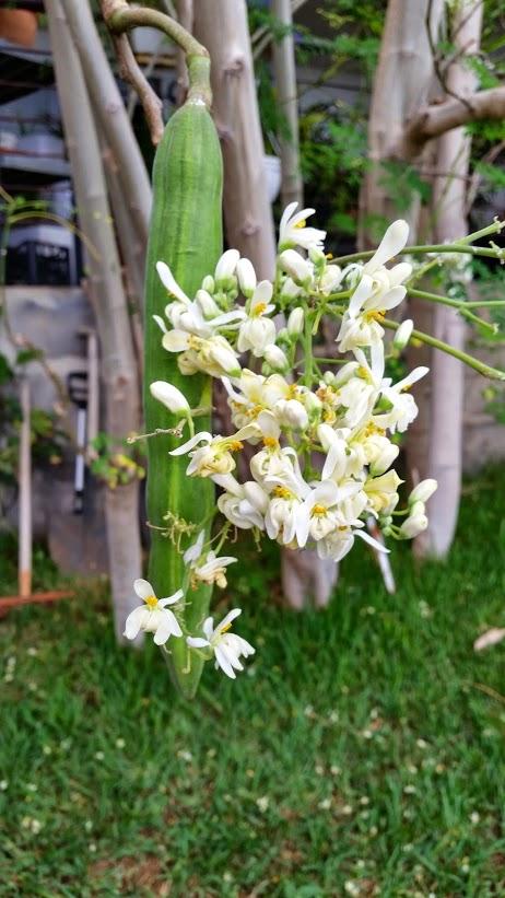 Moringa - mirakelträdet-2
