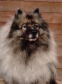 Kajsa, (1991-2005), en av våra änglahundar.