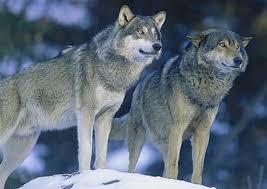 Två vargar har siktats 300 m från stallet!!