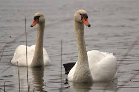 Två svanar har anlänt till en isfri sjö vilket aldrig har hänt 19 januari!