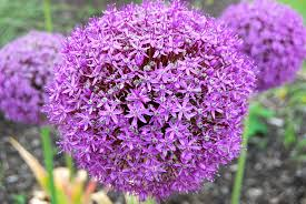 Allium Gladiator, 5-pack