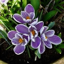 Crocus vernus King of the Striped, 5-pack