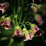 Nectaroscordum siculum ssp bulgaricum