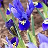 Iris reticulata Rhapsody®