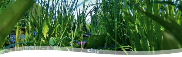 dammväxter, vattenväxter, näckrosor