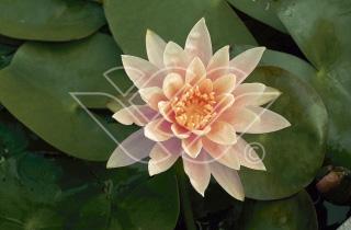Näckros Colorado vattenväxter dammväxter vattenrenande