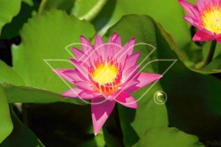 näckros Tropical Pink vattenväxter dammväxter vattenrenande