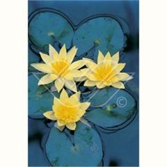 vattenväxt näckros Sulpurea dammväxter vattenväxter vattenrenande