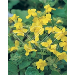 vattenväxter gyckelblomster, dammväxter, sumpväxter, bygga damm, oase